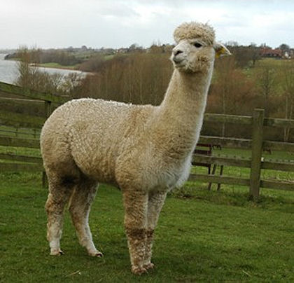 TOFT Dior white Huacaya female at TOFT Alpaca Stud