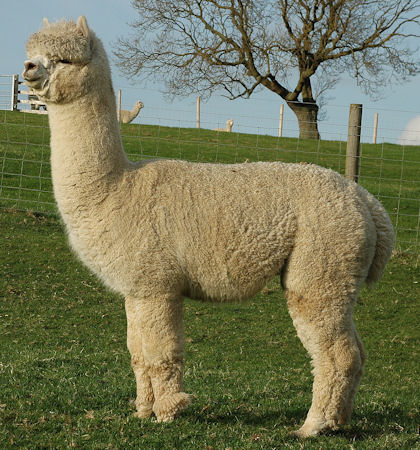 TOFT NZ Achilles white huacaya stud male at TOFT Alpaca Stud
