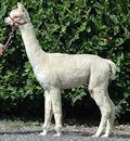 TOFT Patrica White huacaya alpaca female for sale at TOFT Alpaca Stud