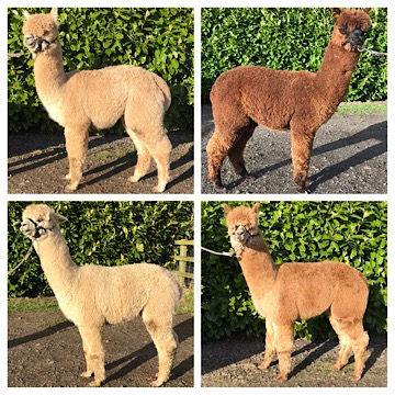 Young Stud males for sale at TOFT